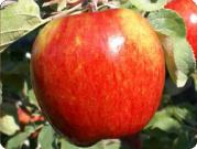 apples_kiku
